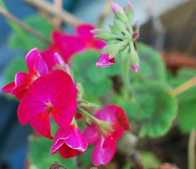 picture of pelargonium in flower