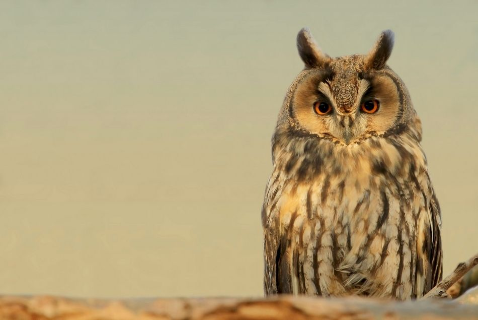 6. Long-eared owl