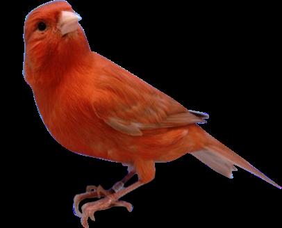 Foto Burung Kenari Red Jantan