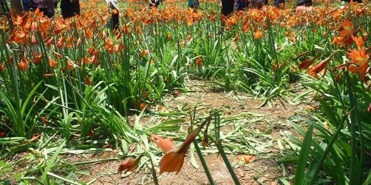 kondisi terkini taman bunga amaryllis jogja