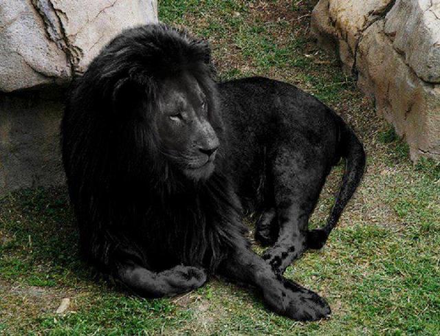 Un león negro
