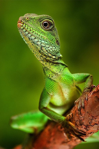 iPhoneZone: Poisonous Lizard iPhone Wallpapers
