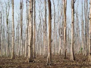 Belajar Makna Puasa dari Pohon Jati