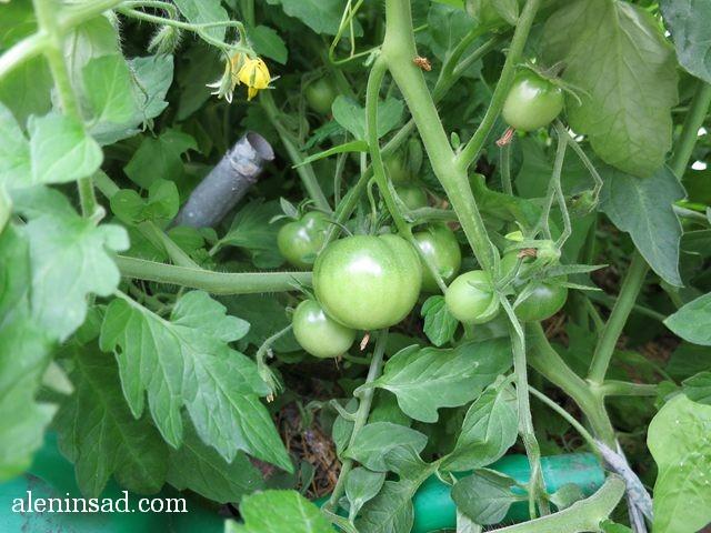 помидоры, зеленые, в теплице, томаты, аленин сад