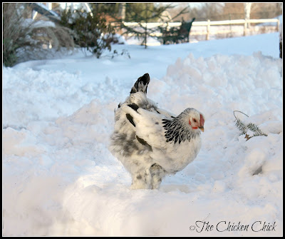 This chicken standing in the snow is not doing her feet any favors in conditions ripe for frostbite.
