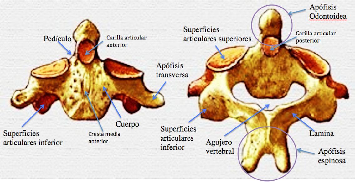 Morfofunción: Cabeza y cuello: Axis