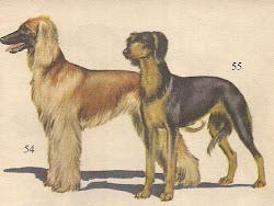 Afghan Hound & Saluki