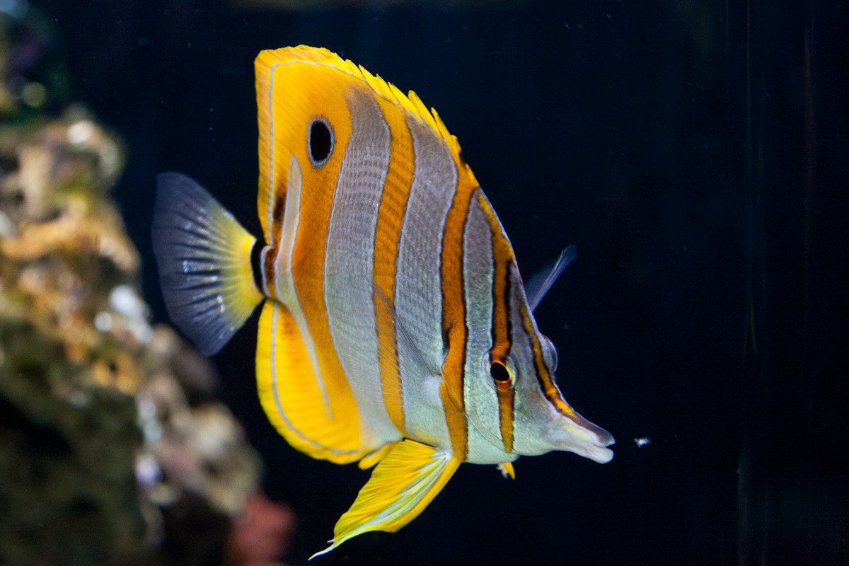 butterfly fish facts and new photos the wildlife