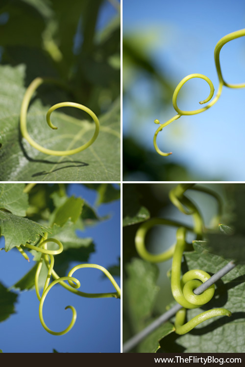 Grape, Vine, Tendrils, Baker Ridge