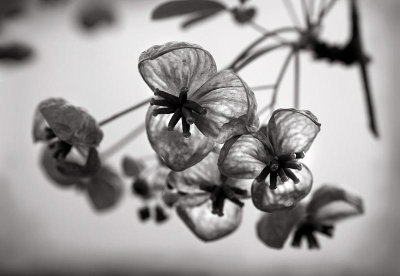 Cacho de flores a preto e branco fotografado em grande plano com apenas as primeiras flores focadas