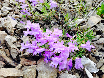 Okanagan Wildflower: Penstemon fruticosus