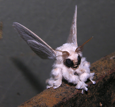 Venezuelan%2Bpoodle%2Bmoth%252C%2BDr%2BArthur%2BAnker%252C%2BFlickr - The moth that looks like a poodle - Weird and Extreme