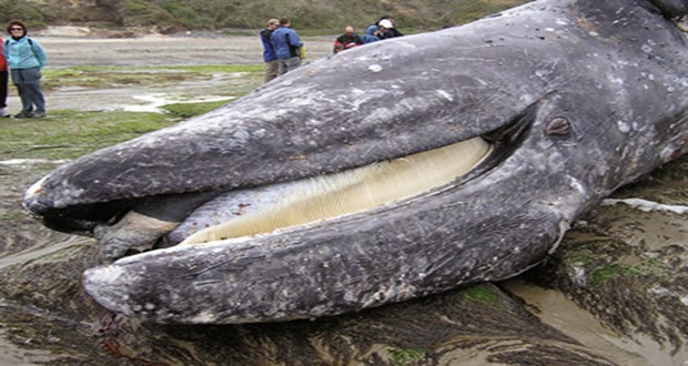 Gray Whales Dies Bringing a Message. Image © http://earthweareone.com