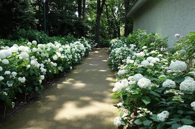 Hydrangea Ajisai Festival Toshimaen White