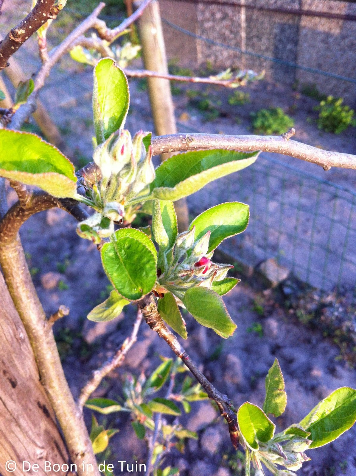 appelboom moestuin volkstuin april