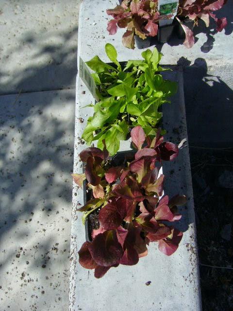 Let Us Plant Lettuce