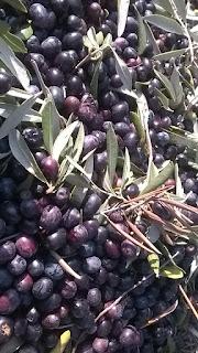 olive moraiole
