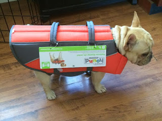 cream french bulldog wears an oversized life jacket ill fitted to go boating
