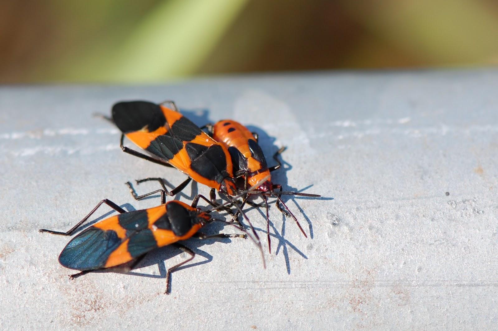 milkweed bugs large small focusing on wildlife. Black Bedroom Furniture Sets. Home Design Ideas