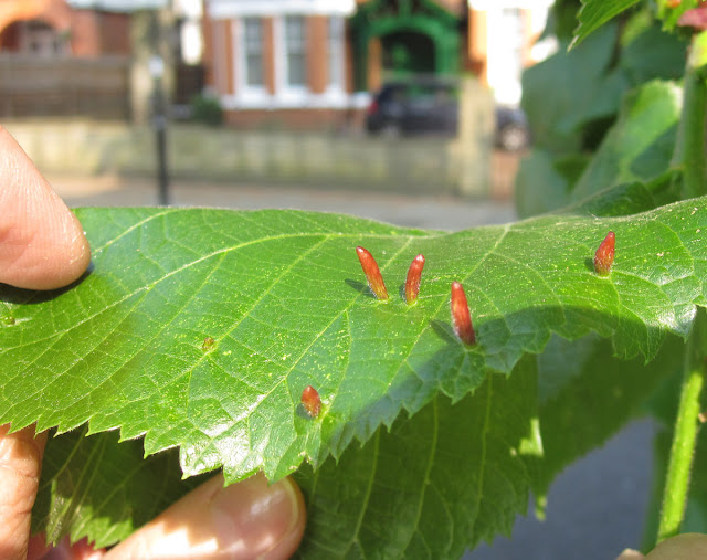 Lime nail galls, caused by a mite, Eriophyes tiliae, on the leaves of the lime or linden tree. Ealing, Easter Sunday, 24 April 2011.
