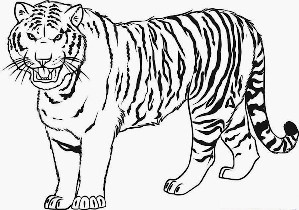How to Draw Tiger Drawing