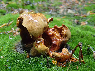 Las Bronaczowa, borowik ceglastopory, Boletus luridiformis