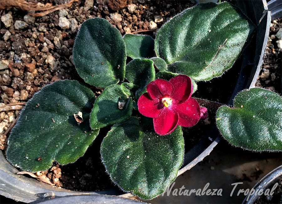 Variedad de flores rojas de la violeta africana, género Saintpaulia