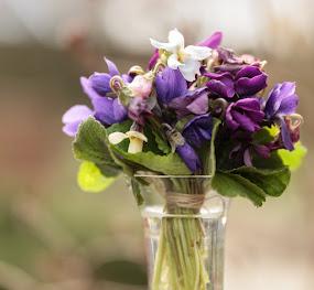 Luktviolerna blommar