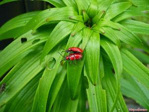 Poskrzypka liliowa - czerwone chrząszcze na liliach