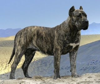 descripción del perro presa canario