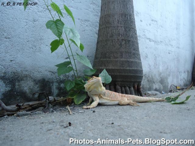 http://4.bp.blogspot.com/-2FwAdVpwlB8/TYikwaTALdI/AAAAAAAAAKw/58jAUpkDXkM/s1600/Pet%2B-%2B%2BBeared%2BDragon_0004.jpg