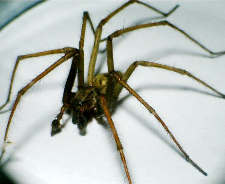 spider, tegenaria domestica