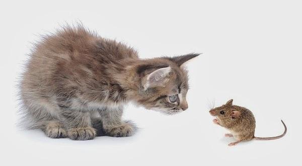 Benarkah Tikus Sudah tidak Takut Sama Kucing