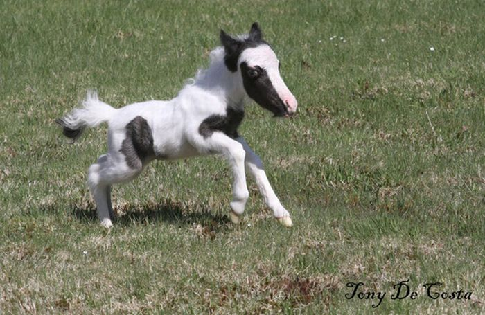 Einstein the smallest horse in the world - photo#12