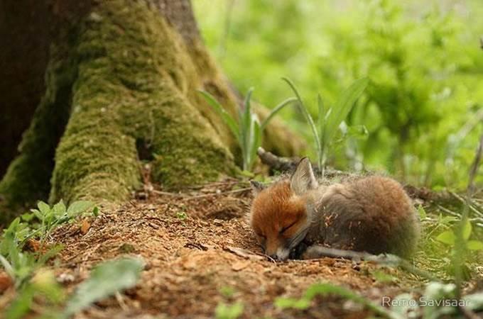 anak musang tidur