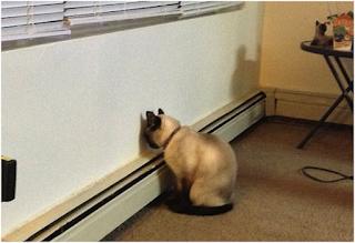 Chứng ép đầu vào tường trên mèo.