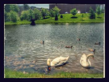 """Swan Pond"" Mount Allison University - Canada"