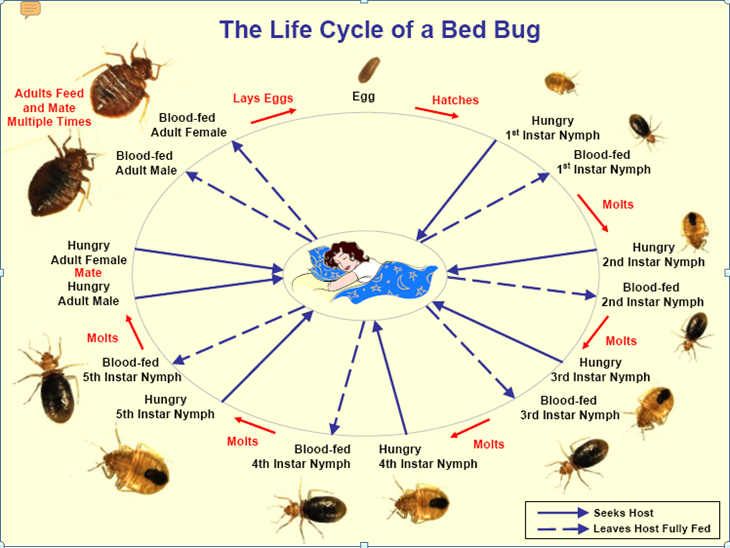 Picture Insights Bed Bugs