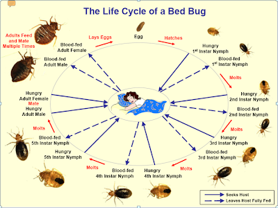 bed bug life cycle diagram