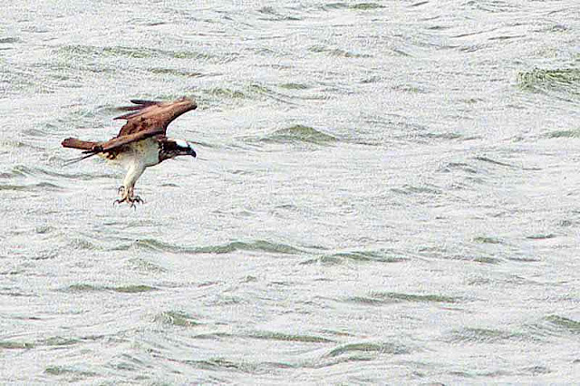 bird, osprey, Pandion haliaetus, fishing