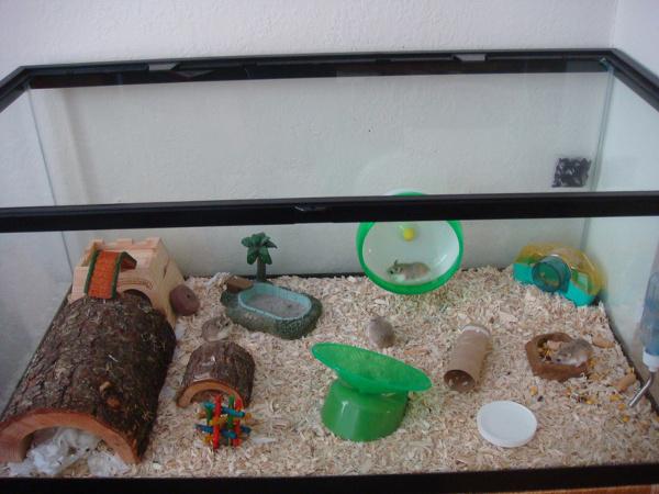 dwarf hamster aquarium