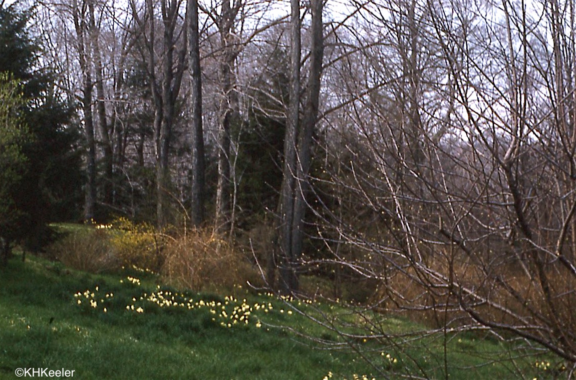 a wandering botanist plant story everybody loves narcissus and daffodils in ohio