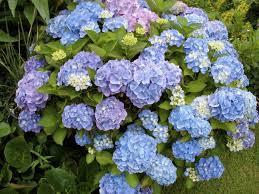 Flower Hydrangea