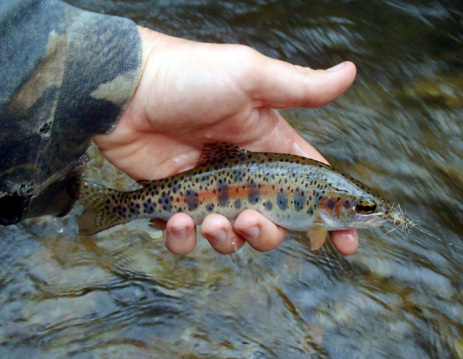 The liars club chestatee tribs for Trout fishing in helen ga