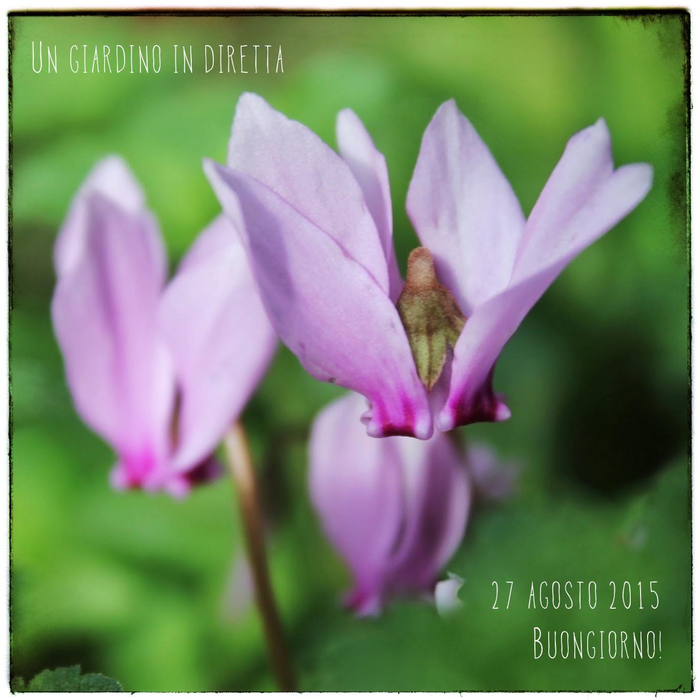 fiori di agosto ciclamino selvatico cyclamen hederifolium un giardino in diretta. Black Bedroom Furniture Sets. Home Design Ideas