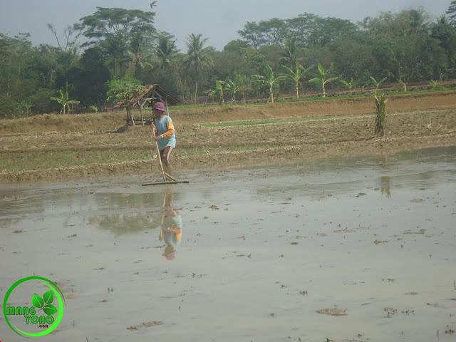 FOTO : Kakek admin sedang nyorogan tanah di sawah admin.