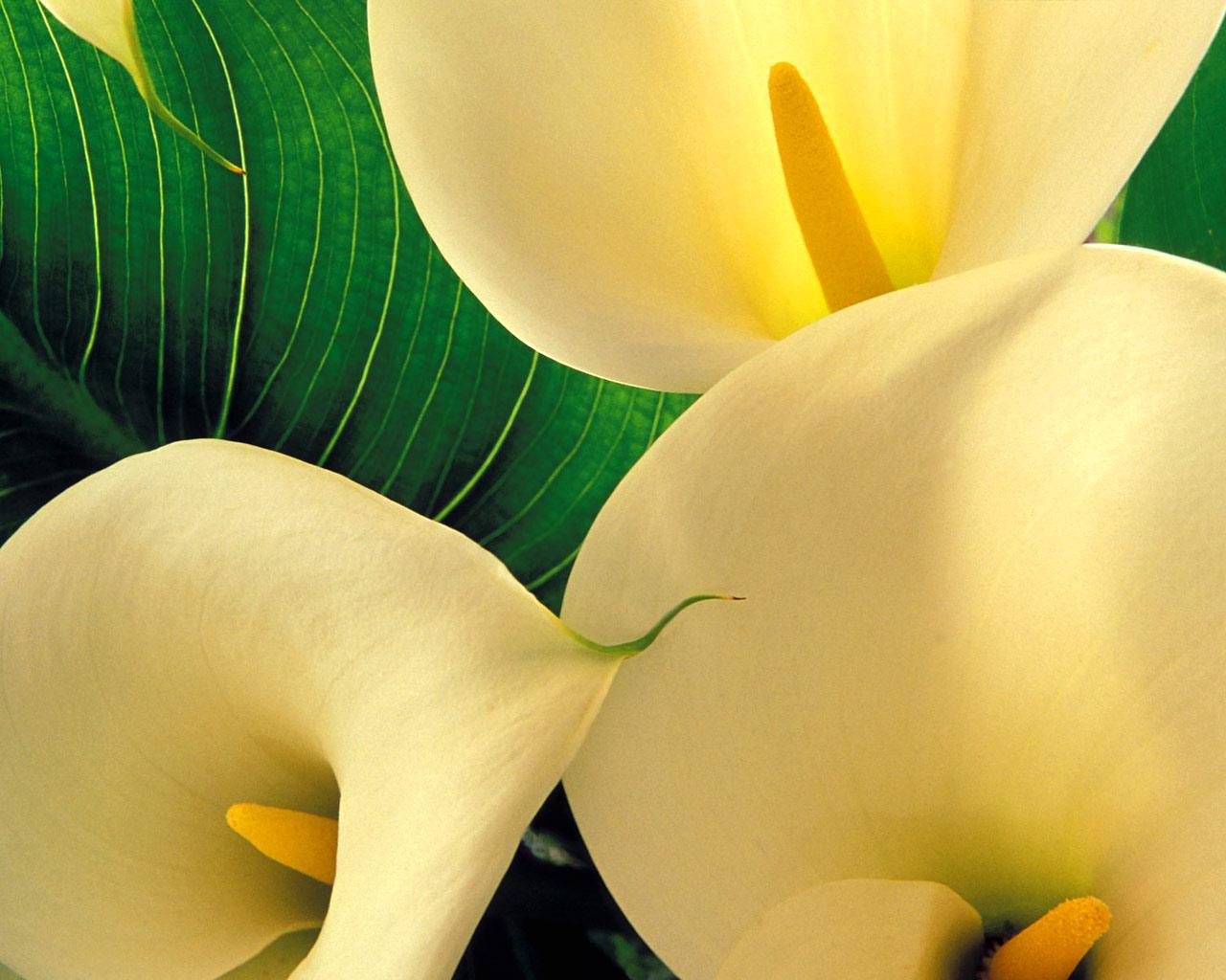 http://4.bp.blogspot.com/-2JNzECBBdt0/TWI3djjRDlI/AAAAAAAAByk/dBYyDvCupHs/s1600/Yellow-Calla-Lilies.jpg