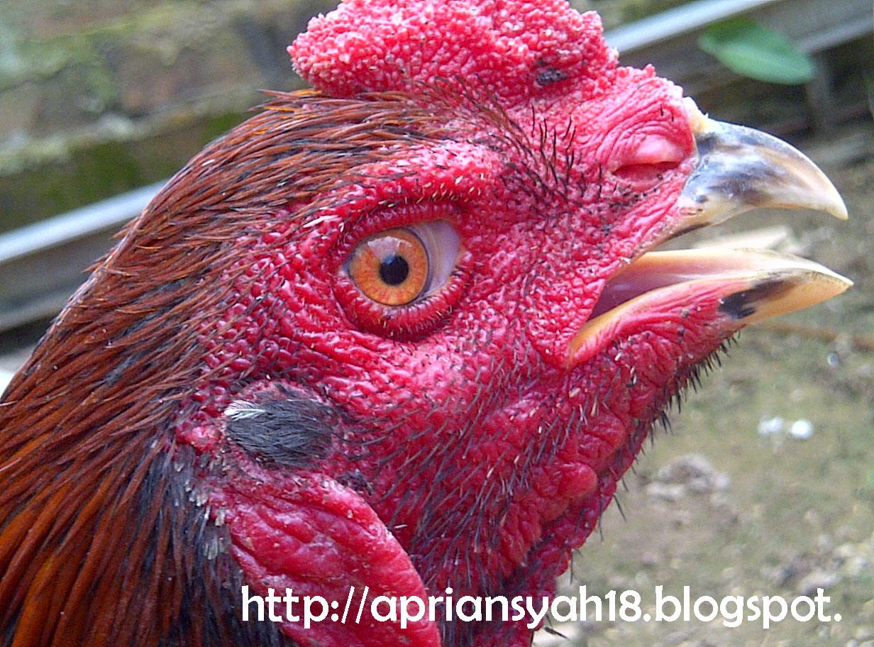 gambar ayam - gambar ayam bangkok aduan