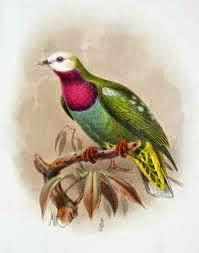 White headed fruit dove