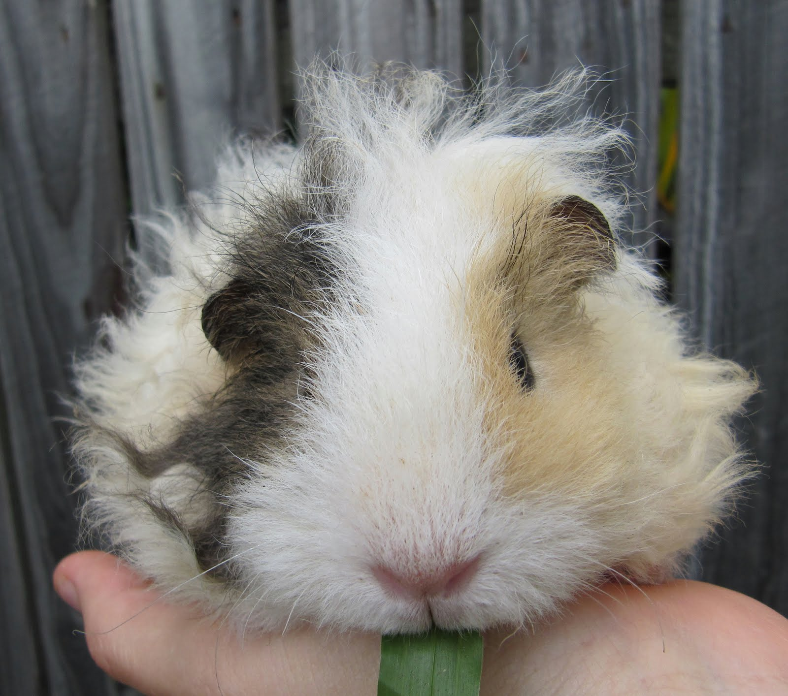 Curly Long Haired Guinea Pig